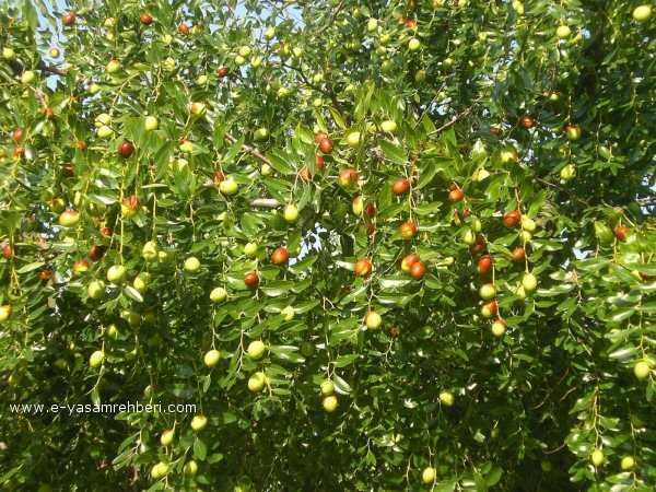 Hünnap Ağacı Hünnap Meyvesi Hünnap Yetiştiriciliği Meyva