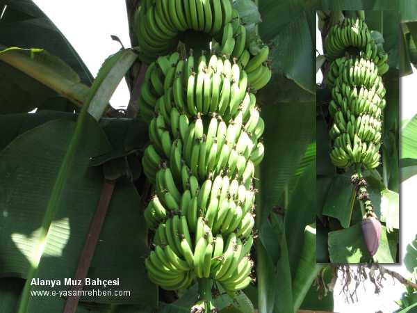 Muz Ağacı Muz Meyvesi Muz Yetiştiriciliği Meyva Ağaçları E