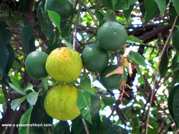 Turunç Ağacı, Turunç Meyvesi, Turunç Yetiştiriciliği