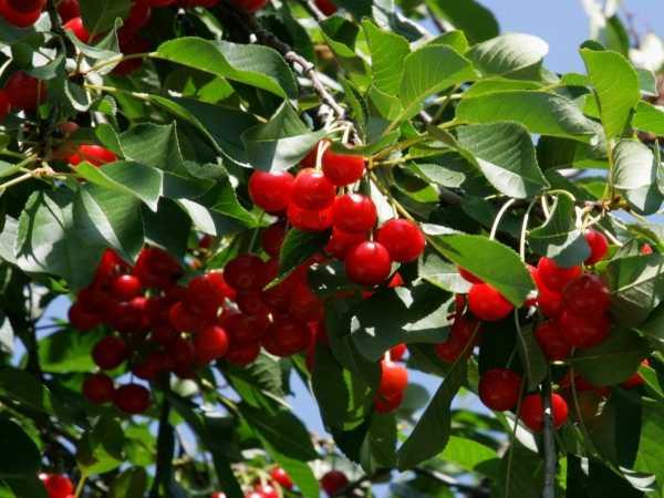 Vişne, vişne ağacı, black cherry, (prunus cerasus)